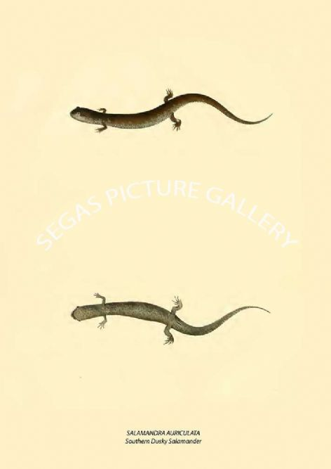 Fine art print of the SALAMANDRA AURICULATA - Southern Dusky Salamander by John Edwards Holbrook (1838)
